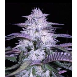 3 UND FEM - TURBO BUD AUTO * HEAVYWEIGHT SEEDS 3 UND FEMINIZADAS - Imagen 1