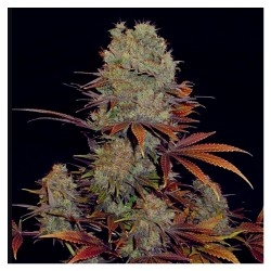 3 UND FEM - HIGH DENSITY AUTO * HEAVYWEIGHT SEEDS 3 UND FEMINIZADAS - Imagen 1