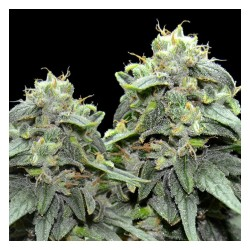 BL4QKFY4H WEED VIP SEEDS