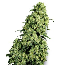 5 UND FEM - MIDNIGHT MASS * HEAVYWEIGHT SEEDS 5 UND FEMINIZADAS - Imagen 1