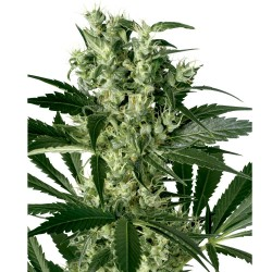 5 UND FEM - STRAWBERRY CAKE* HEAVYWEIGHT SEEDS 5 UND FEMINIZADAS - Imagen 1