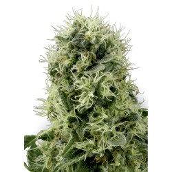 5 UND FEM - SUPERB OG * HEAVYWEIGHT SEEDS 5 UND FEMINIZADAS - Imagen 1