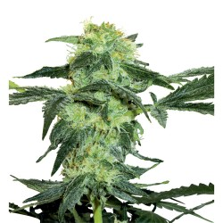 5 UND FEM - FRUIT PUNCH AUTO * HEAVYWEIGHT SEEDS 5 UND FEMINIZADAS - Imagen 1
