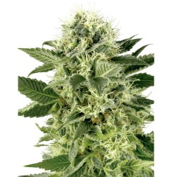 5 UND FEM - SHORT & SWEET AUTO * HEAVYWEIGHT SEEDS 5 UND FEMINIZADAS - Imagen 1