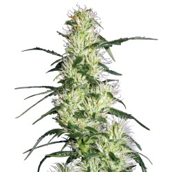 5 UND FEM - SKUNKY MONKEY AUTO * HEAVYWEIGHT SEEDS 5 UND FEMINIZADAS - Imagen 1