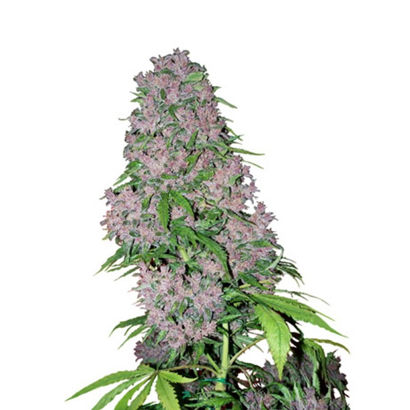 Purple Bud white label