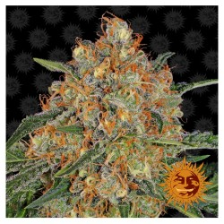 Orange Sherbert Barneys Farm